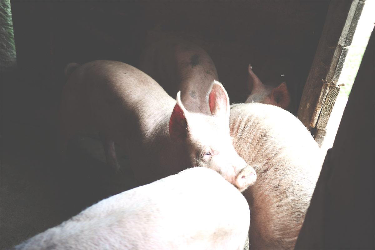 Les cochons de Ferdinand Boucherie Prélaz Genolier
