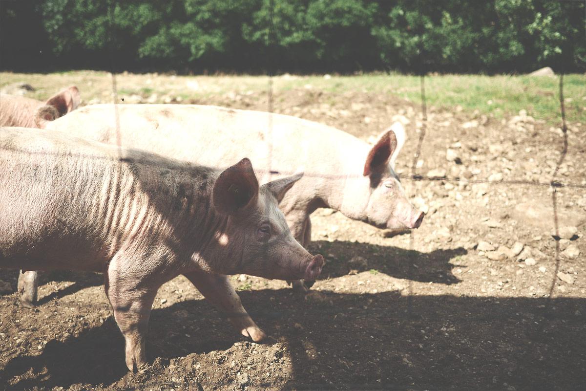 Les cochons2 de Ferdinand Boucherie Prélaz Genolier