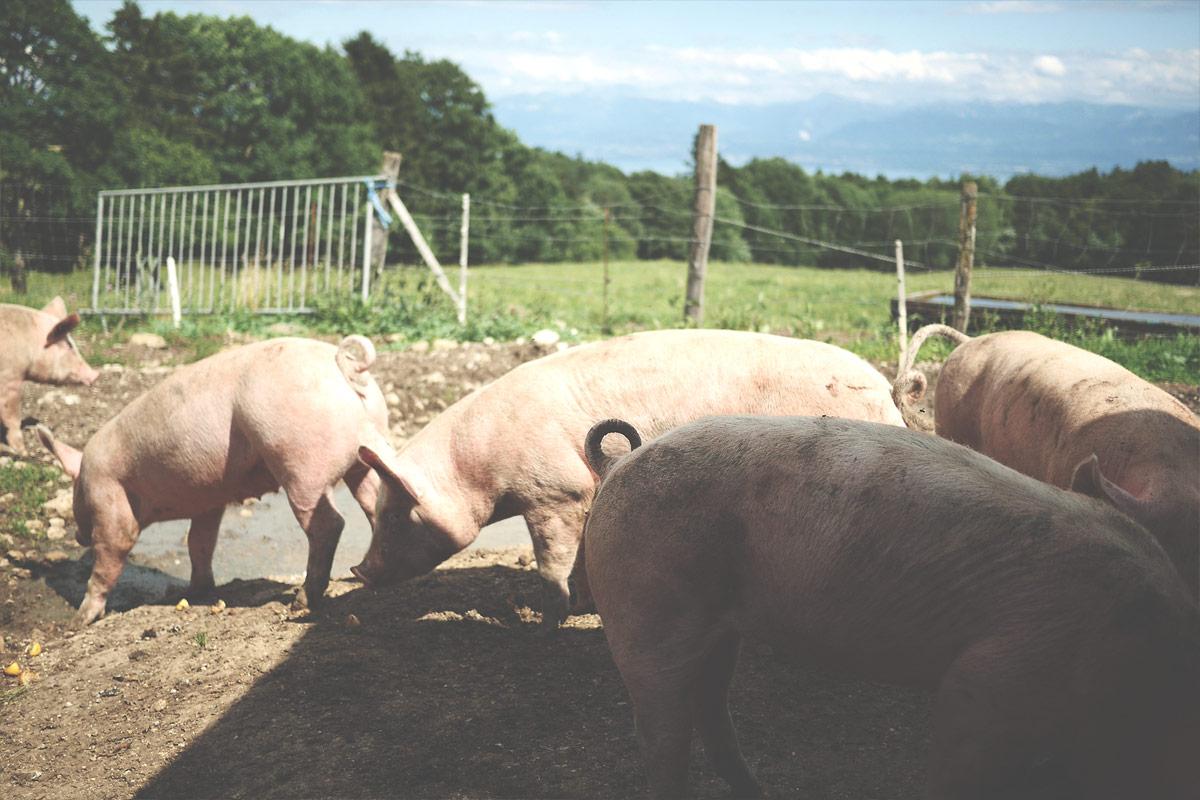 Les cochons3 de Ferdinand Boucherie Prélaz Genolier