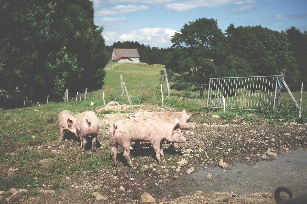 Les cochons4 de Ferdinand Boucherie Prélaz Genolier