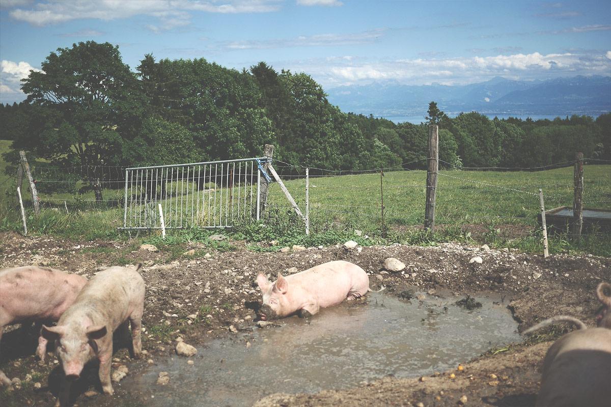 Les cochons5 de Ferdinand Boucherie Prélaz Genolier